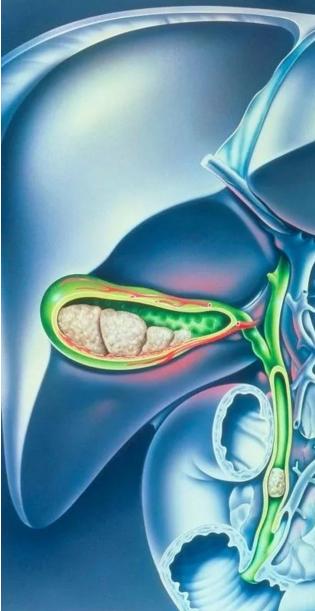 胆管,胆囊与肝脏的结构图